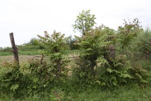 ailanthus1